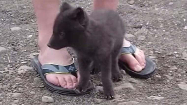 Arctic Fox Encounter