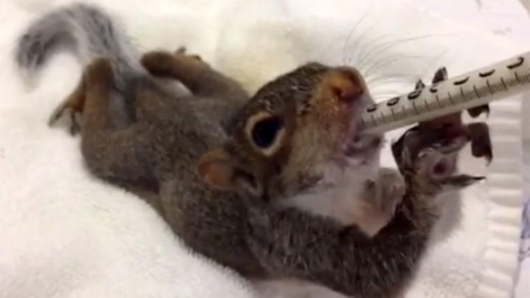 Vine squirrel