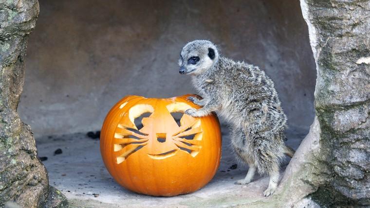 Meerkat with a pumpkin