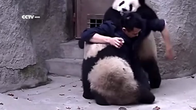 Image: Zookeeper tries to give medicine to panda cubs