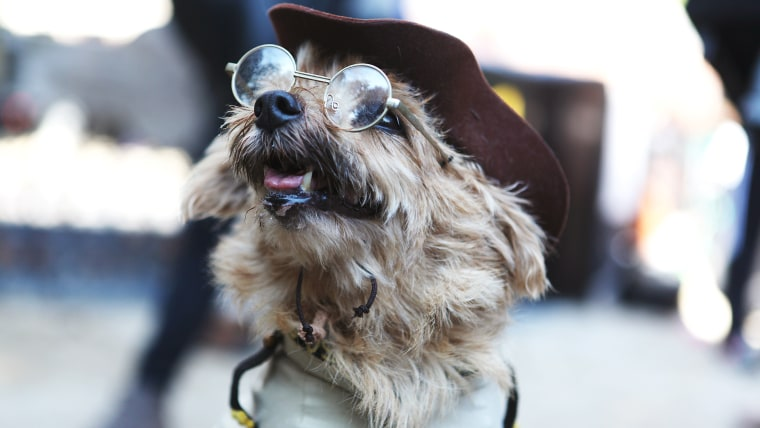 """A Norfolk Terrier, Sissy, rides a rocking horse. The pup is stylized after Robin Williams' Teddy Roosevelt character in """"Night at the Museum,"""" and pays tribute to the late actor."""