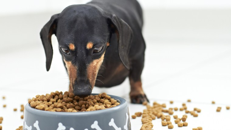 Black Dachshund dog guarding and eating food; Shutterstock ID 97464794; PO: TODAY.com