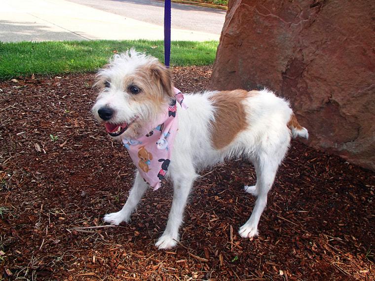 Gidget the Jack Russell terrier