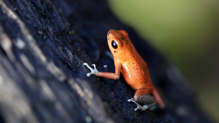 IMAGE: Poisonous frogs