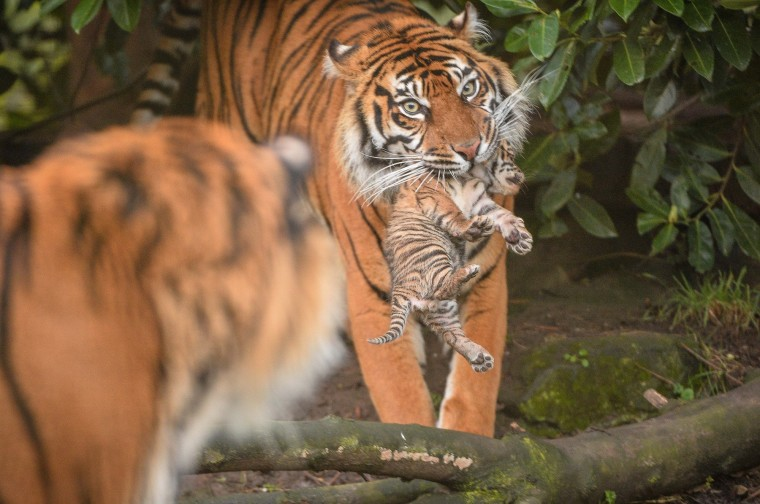tiny sumatran tiger cubs emerge from den at u k s chester zoo in