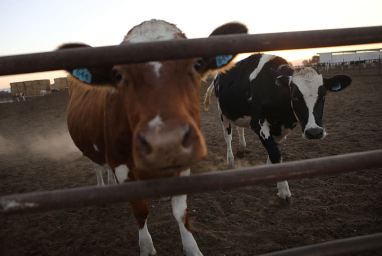 Cattle are enclosed on a farm in Modesto, California, on Oct. 24, 2018.