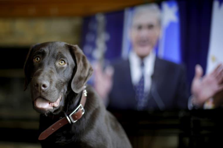 Image: Alicia Barnett's chocolate Labrador retriever, Mueller, waits for a treat in their Kansas City, Kansas, home on March 11, 2019.