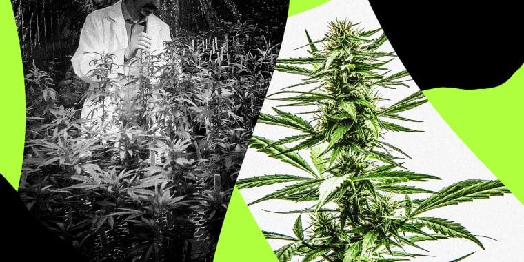 Image: A researcher grows marijuana at a lab and a large marijuana plant.