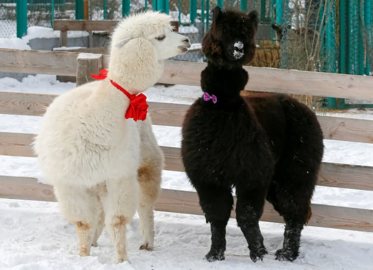 Image: Alpacas, male Romeo (L) and female Juliette, walk inside their open air enclosure at the Roev Ruchey Zoo in Krasnoyarsk, Russia