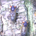 Noisy cicadas start to emerge after 17-year wait
