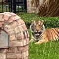 Tiger seen wandering Houston neighborhood is still missing