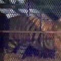 Tiger found after it was seen roaming a Houston neighborhood