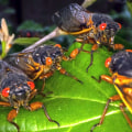 Cicadas are just like us after the pandemic, entomologist says