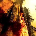 Efforts underway to save giant sequoia trees from California wildfires