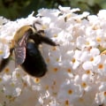 Some want American bumblebee added to endangered species list