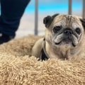 Meet Noodle, the pug who predicts what kind of day you will have