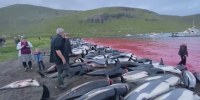 More than 1,400 dolphins killed in traditional Faeroe Islands hunt