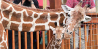 Image: April the Giraffe