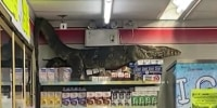 Image: Monitor lizard wanders into store