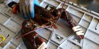 Image: A large lobster at Three Sons Lobster and Fish in Portland, Maine, on July 21, 2012.