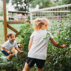 Young boy and girl with Corgi dog picking home grown tomatoes. See the best plant cages and best tomato cages for growing vegetables and flowers from roses to cucumbers in your home garden, according to experts.