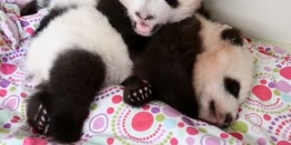 Wake Up Sleepy Baby Panda Keeps Getting Poked By Brother