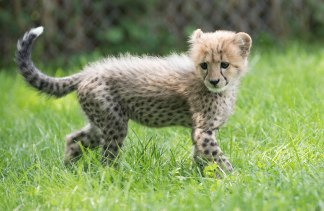 Cheetah And Dog Columbus Zoo Best Cheetah Image And Photo HD - Cheetahs can be so shy that zoos give them emotional support dogs