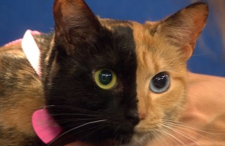 Paws Up The Mostliked Animal Stories Of The Year - Venus cat two faces making twice adorable
