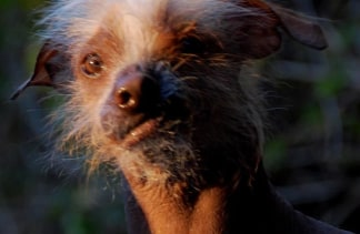Homely Pooches Prepare For Worlds Ugliest Dog Contest - Dog passes owner returns 2 years