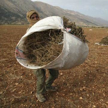 Image: The Wider Image: Syrian refugees farm cannabis in Lebanon