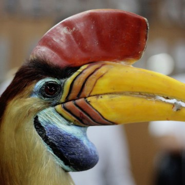 """This picture taken on September 9, 2016 shows plain clothes police displaying a stuffed hornbill trophy seized from smugglers in Makassar, South Sulawesi province.  A striking bird with monochrome plumage and a formidable \""""beak\"""", the helmeted hornbill is being hunted to extinction, one of the latest victims of a thriving global trade in exotic wildlife."""