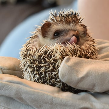 In this photo taken on October 15, 2016, a hedgehog is held by a customer at Harry Hedgehog Cafe in Tokyo.  The new animal cafe, which is located in Tokyo's Roppongi district, offers customers 30 minutes playtime with a hedgehog for 1000 yen (10 USD) on weekdays and 1,300 yen (13 USD) on weekends and holidays.