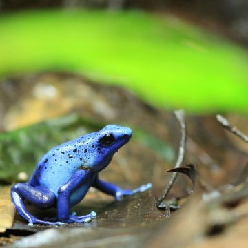 A Dyeing poison frog sits in its terrarium in Magdeburg, eastern Germany, on October 12, 2016.