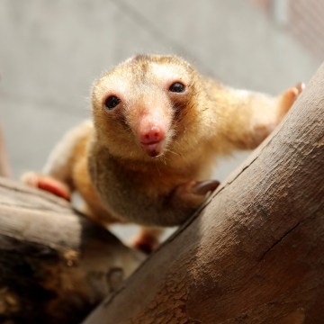 Image: Freddy, a pygmy anteater is shown at the zoo park Huachipa during a press presentation in Lima