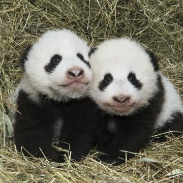 Image: AUSTRIA-ANIMALS-PANDA-TWINS