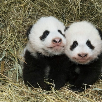 Image: AUSTRIA-ANIMALS-PANDA-TWINS