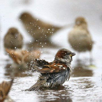 Image: Sparrows wash themselves and drink water from a puddle in the village of Vits