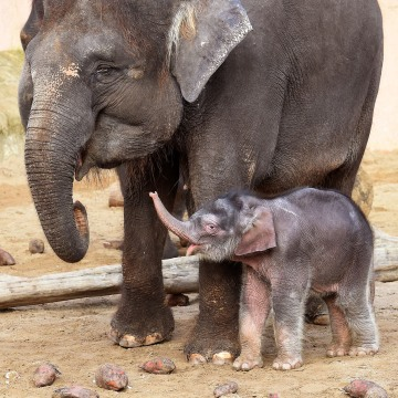 GERMANY-ANIMALS-ZOO-ELEPHANT
