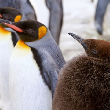 A young king penguin stands in an enclosure at Zurich's Zoo in Zurich