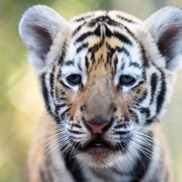 Image: EL SALVADOR-ANIMALS-BENGAL TIGERS