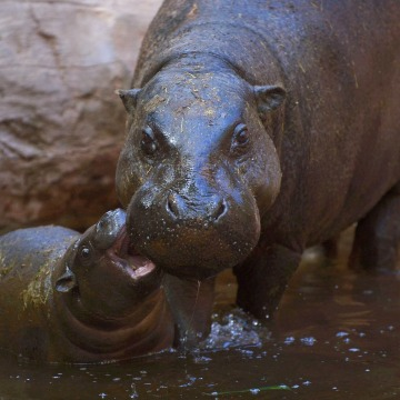 Image: TOPSHOT-SPAIN-ANIMALS-HIPPO