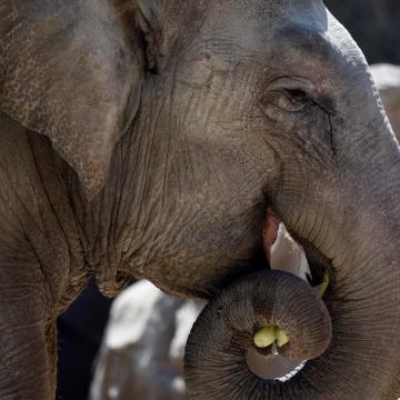 Image: GUATEMALA-ZOO-ELEPHANT-TROMPITA-BIRTHDAY