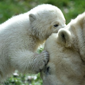 Image: GERMANY-ANIMALS-ZOO-POLAR-BEAR