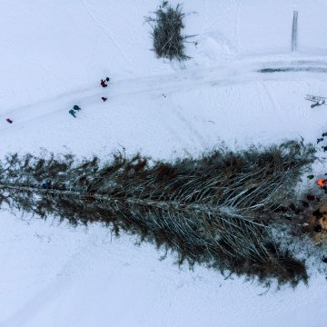 Image: 'La Panera', the tallest pine Switzerland, was felled