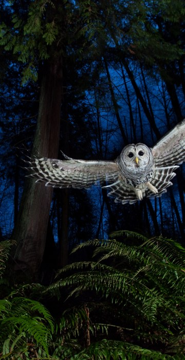 "The flight path, Connor Stefanison (Canada) Winner: The Eric Hosing Portfolio Award Connor's photography draws on the wilderness skills he acquired over a childhood spent largely outdoors. This female barred owl had a territory near his home in Burnaby, British Columbia. He watched her for some time, familiarizing himself with her flight paths until he knew her well enough to set up the shot. ""I wanted to include the western red cedar and the sword ferns so typical of this Pacific coastal rainforest."" Setting up his camera near one of the owl's favorite perches, linked to a remote and three off-camera flashes, he put a dead mouse on a platform above the camera and waited for the swoop that he knew would come. ""She grabbed the mouse, flew back to her perch and began calling to her mate. It is one of the most exciting calls to hear in the wild."""