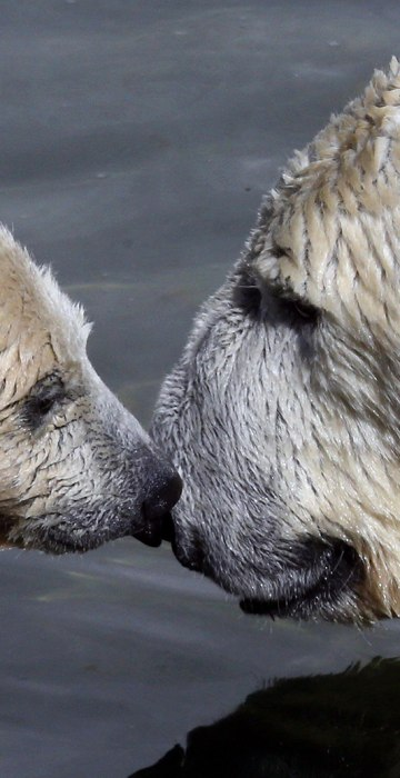 Image: A polar bear cub plays with its mother Uslada at the Leningrad Zoo in St. Petersburg