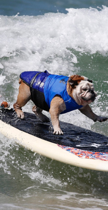 Image: Surfer Dog Tillman rides a wave at the Surf City surf dog contest in Huntington Beach