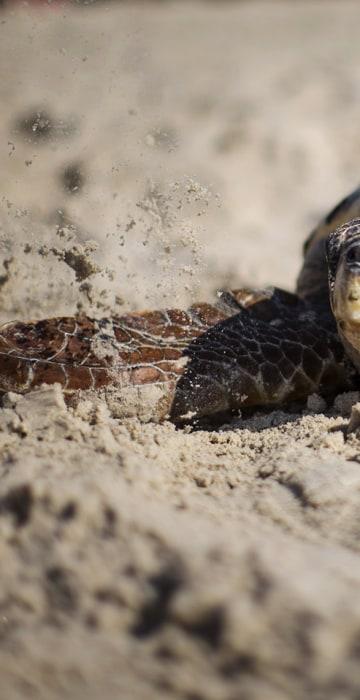 Image: Sea Turtles Freed Back To Nature