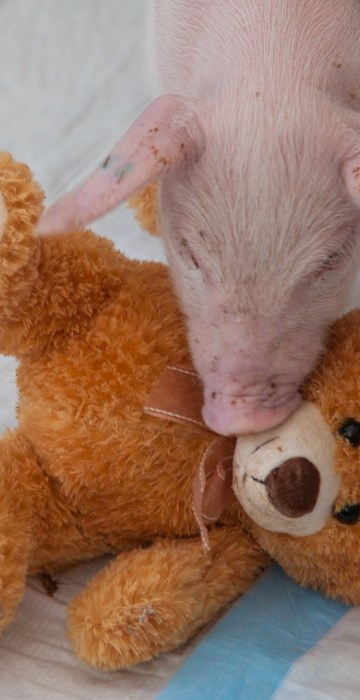 Family Rescues Piglet From Side Of Road During Blizzard