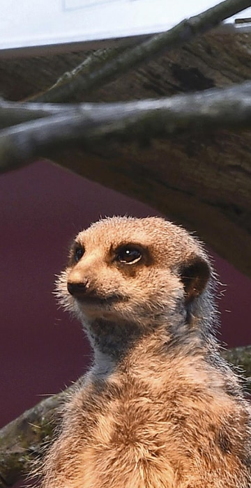 A meerkat sits under a heat lamp in it's outside enclosure at Marwell Zoo near Winchester in Britain